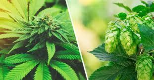 lupulo y cannabis terpenos